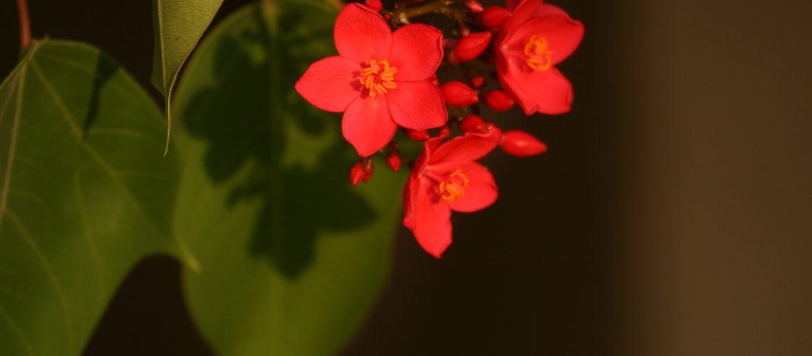 תכנון חוץ פנים/צמחים לגינה/יטרופית תמימה